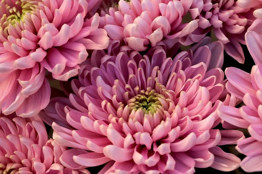 Chrysanthemums pink