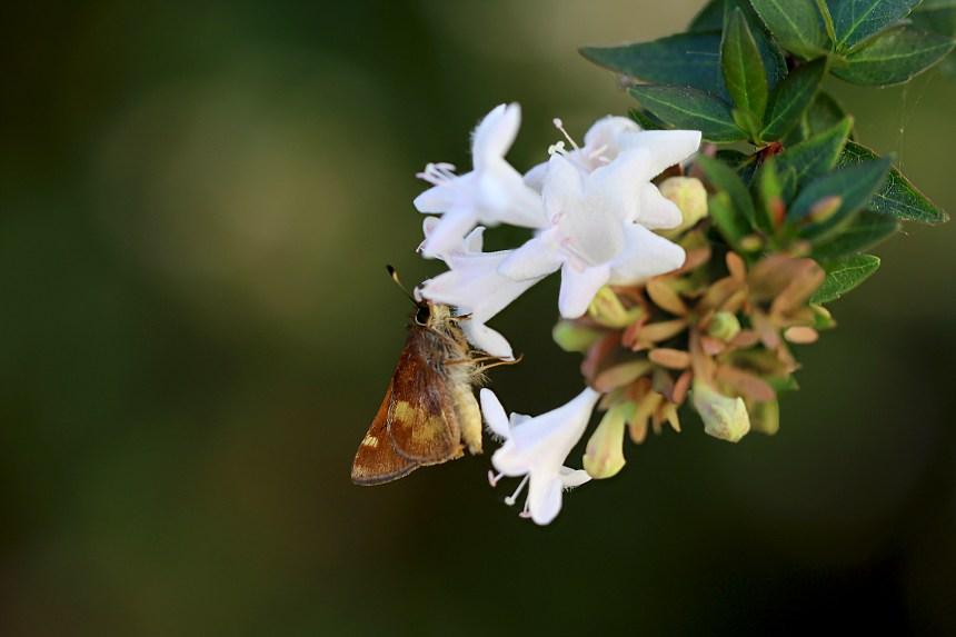 butterfly-on-grandiflora-2