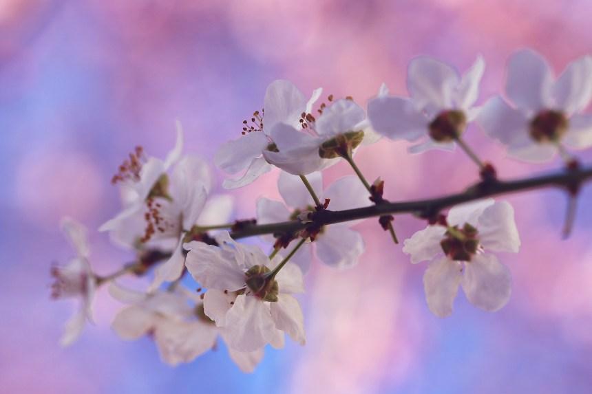 Blossoms white sprig