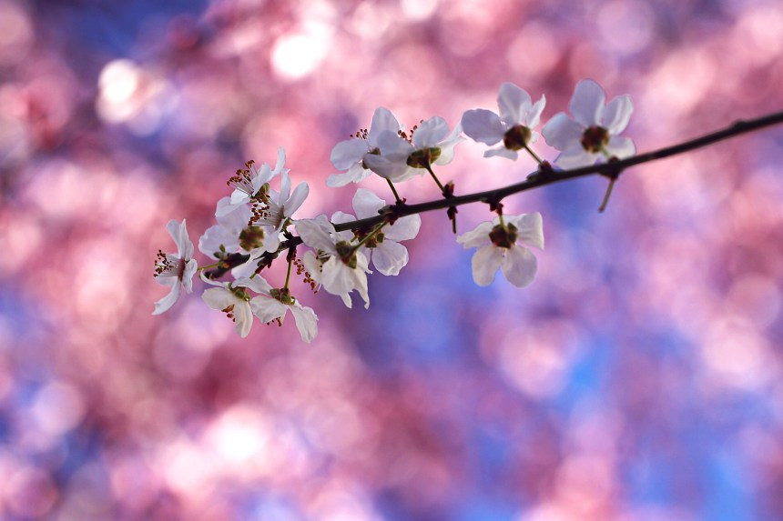 Blossoms white Spring