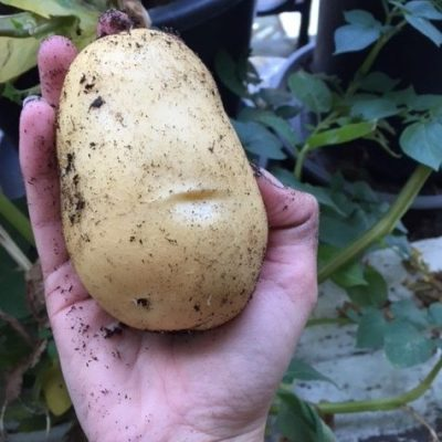 Home grown potato