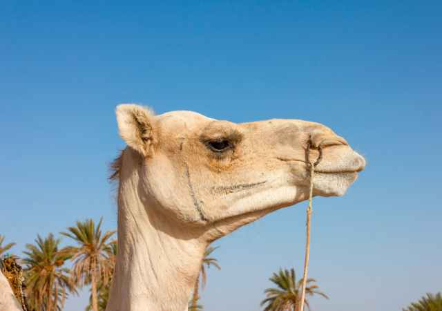Is camel milk the next superfood