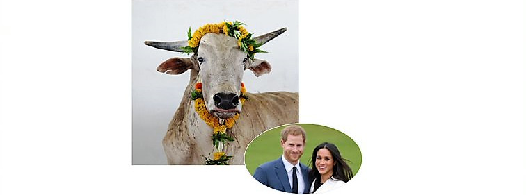 Indian bull harry and meghan peta india