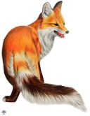 volpe-scarlett