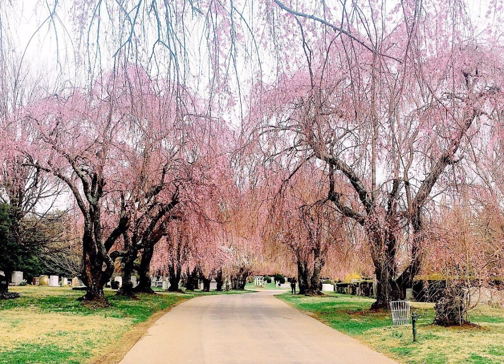 lexington cemetery japanese cherry blossoms