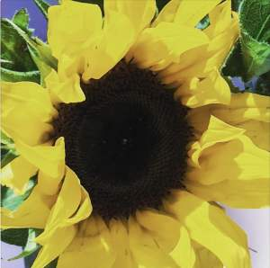 Sunflowers as part of the sept self care challenge