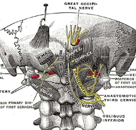 Occipital Nerve