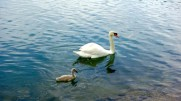 Trivia question: what's a baby swan called?