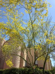 My palo verde tree I planted 8 years ago.