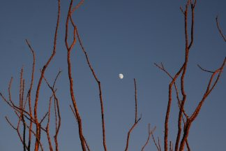 ocotillos at moonrise