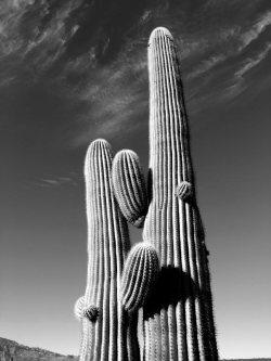 saguaro-cactus