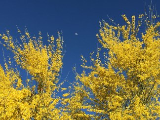 The little tree I planted 9 years ago now towers overhead and thrills with yellow blossoms.