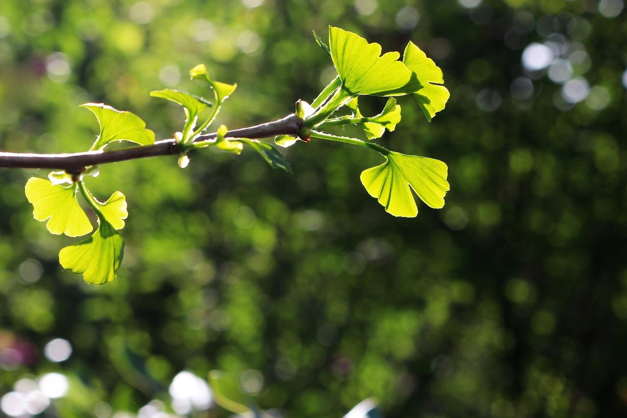 ginkgo  der tempelbaum  fachportalgesundheitde