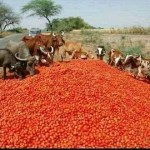 Viral photo of cattle eating tomatoes is from India, not Nigeria