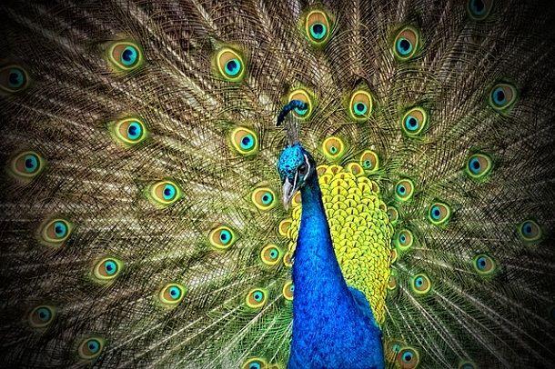 मोर के बारे में 30 रोचक जानकारी – Information About Peacock In Hindi