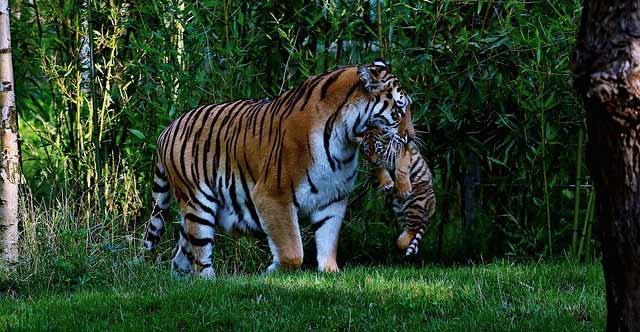 bagh-tiger-in-hindi