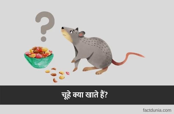 चूहा क्या खाता है? क्या चूहे पानी पीते हैं?