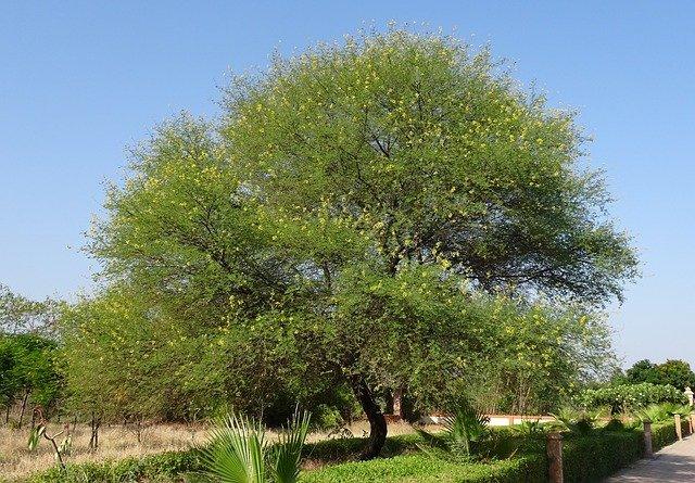 25 सबसे तेजी से बढ़ने वाले पेड़ – भारत में जल्दी बढ़ने वाले पेड़ों के नाम