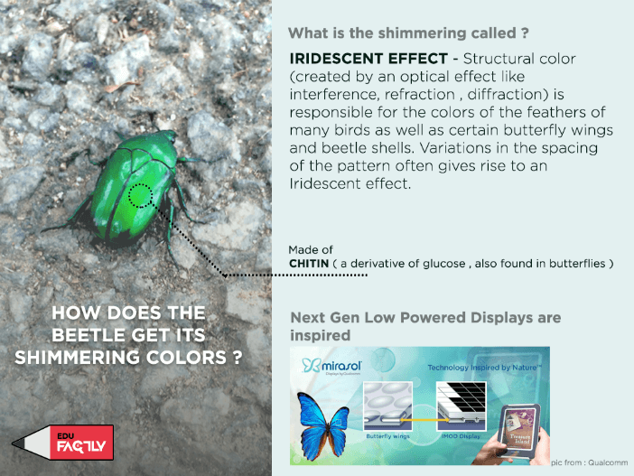 How does the beetle get its shimmering colors