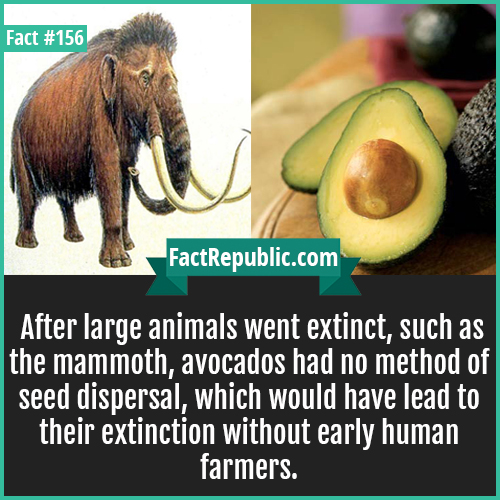 156. Avocados seed dispersal-After large animals went extinct, such as the mammoth, avocados had no method of seed dispersal, which would have lead to their extinction without early human farmers.