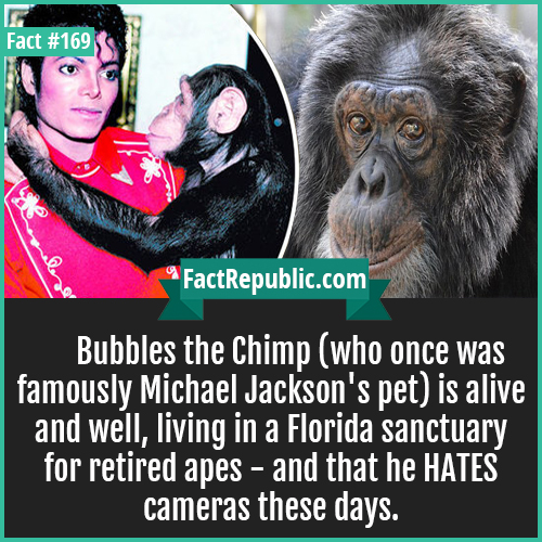 169. Bubbles the chimp-Bubbles the Chimp (who once was famously Michael Jackson's pet) is alive and well, living in a Florida sanctuary for retired apes - and that he HATES cameras these days.