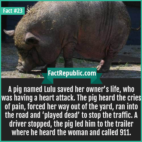 23. Lulu Pig-A pig named Lulu saved her owner's life, who was having a heart attack. The pig heard the cries of pain, forced her way out of the yard, ran into the road and 'played dead' to stop the traffic. A driver stopped, the pig led him to the trailer where he heard the woman and called 911.