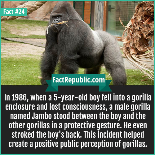 24. Jambo Gorilla-In 1986, when a 5-year-old boy fell into a gorilla enclosure and lost consciousness, a male gorilla named Jambo stood between the boy and the other gorillas in a protective gesture. He even stroked the boy's back. This incident helped create a positive public perception of gorillas.