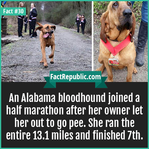 30. Bloodhound Marathon-An Alabama bloodhound joined a half marathon after her owner let her out to go pee. She ran the entire 13.1 miles and finished 7th.