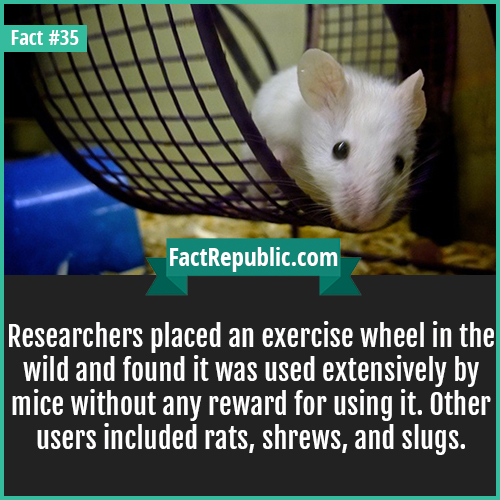35. Exercise Wheel-Researchers placed an exercise wheel in the wild and found it was used extensively by mice without any reward for using it. Other users included rats, shrews, and slugs.
