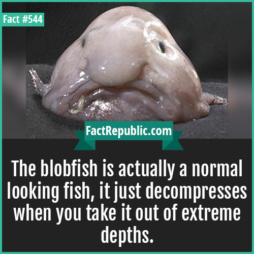 544. Blobfish-The blobfish is actually a normal looking fish, it just decompresses when you take it out of extreme depths.