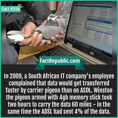 556-PigeonVsInternet-In 2009, a South African IT company's employee complained that data would get transferred faster by carrier pigeon than on ASDL. Winston the pigeon armed with 4gb memory stick took two hours to carry the data 60 miles - in the same time the ADSL had sent 4% of the data.
