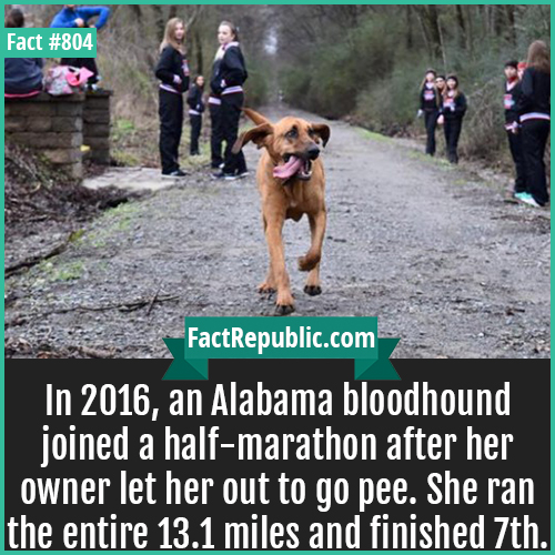 804. Alabama bloodhound marathon-In 2016, an Alabama bloodhound joined a half-marathon after her owner let her out to go pee. She ran the entire 13.1 miles and finished 7th.
