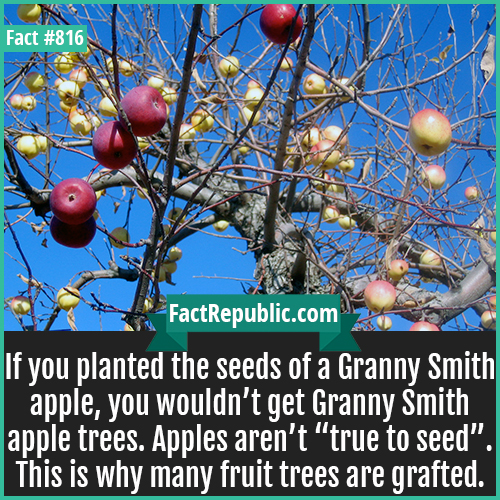 "816. Apple Grafting-If you planted the seeds of a Granny Smith apple, you wouldn't get Granny Smith apple trees. Apples aren't ""true to seed"". This is why many fruit trees are grafted."