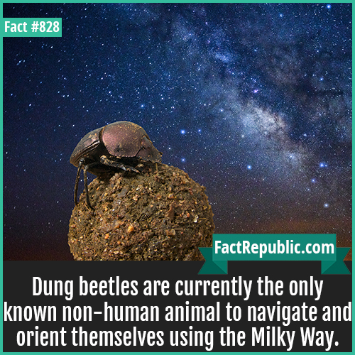 828. Dung Beetles Milky Way-Dung beetles are currently the only known non-human animal to navigate and orient themselves using the Milky Way.