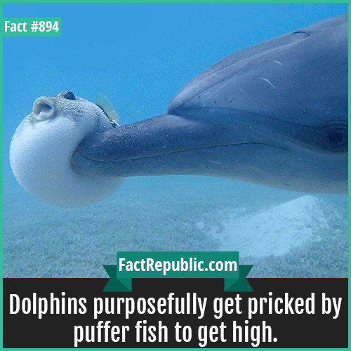 894. Dolphins Puffer Fish High-Dolphins purposefully get pricked by puffer fish to get high.