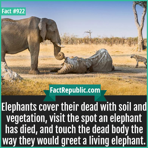 922. Elephant Funerals-Elephants cover their dead with soil and vegetation, visit the spot an elephant has died, and touch the dead body the way they would greet a living elephant.