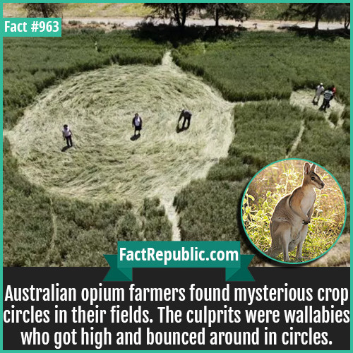 963. Australian opium Farm Crop Circles-Australian opium farmers found mysterious crop circles in their fields. The culprits were wallabies who got high and bounced around in circles.