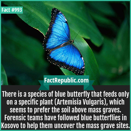 993. Blue Butterflies Mass Graves-There is a species of blue butterfly that feeds only on a specific plant (Artemisia Vulgaris), which seems to prefer the soil above mass graves. Forensic teams have followed blue butterflies in Kosovo to help them uncover the mass grave sites.