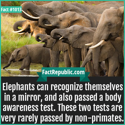 1013. Elephants-Elephants can recognize themselves in a mirror, and also passed a body awareness test. These two tests are very rarely passed by non-primates.