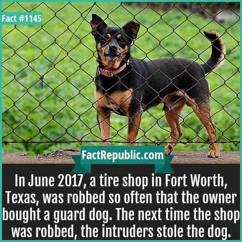 1145. Guard Dog Tireshop-In June 2017, a tire shop in Fort Worth, Texas, was robbed so often that the owner bought a guard dog. The next time the shop was robbed, the intruders stole the dog.