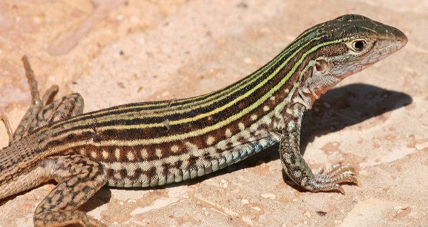Whiptail lizards asexual reproduction in fungi