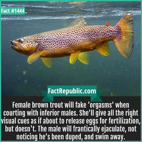 1444. Brown Trout-Female brown trout will fake 'orgasms' when courting with inferior males. She'll give all the right visual cues as if about to release eggs for fertilization but doesn't. The male will frantically ejaculate, not noticing he's been duped, and swim away.