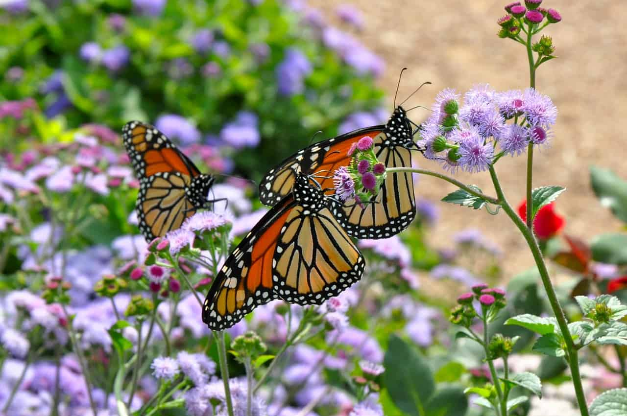 50 Magnificent Monarch Butterfly Facts You Can T Miss