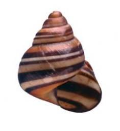 Steve Irwin Tree Snail