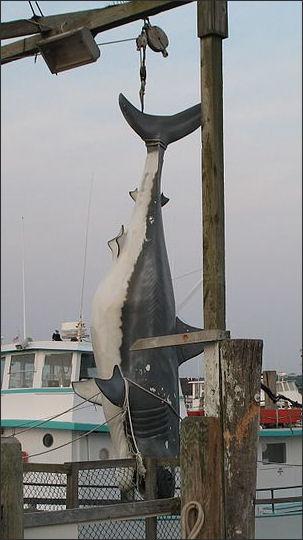 River Shark Caught Bull