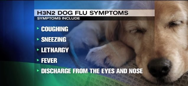 Symptoms of Dog Flu