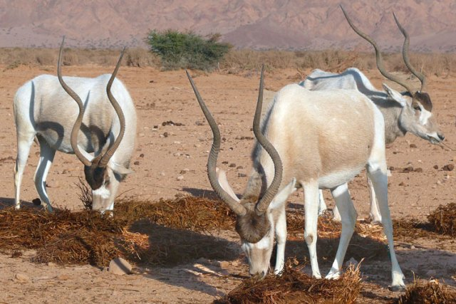 Addax (veya Mendes antilop veya Beyaz Antilop)
