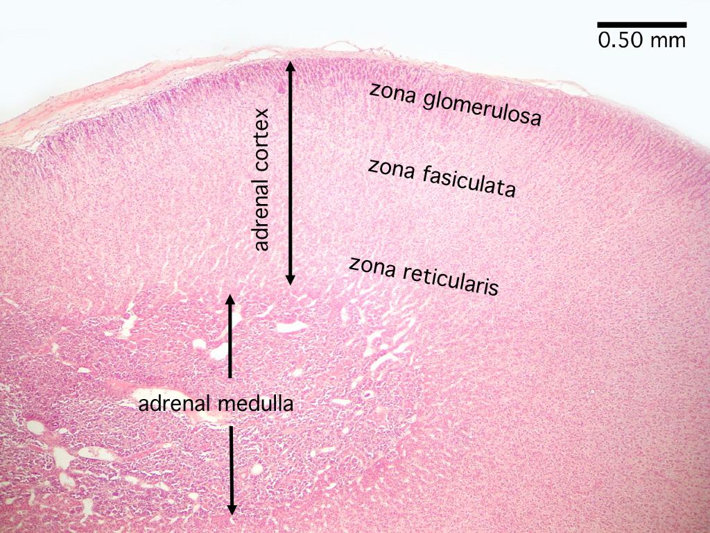 Histology Endocrine System Adrenal Gland