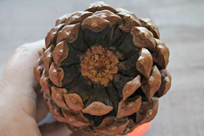The underside of a very large pine cone, showing how to break off the little stems. DIY cotton branches, cotton pod, DIY cotton stems, DIY cotton balls DIY, art and craft, DIY crafts, cotton branches, cotton craft, cotton ball crafts,