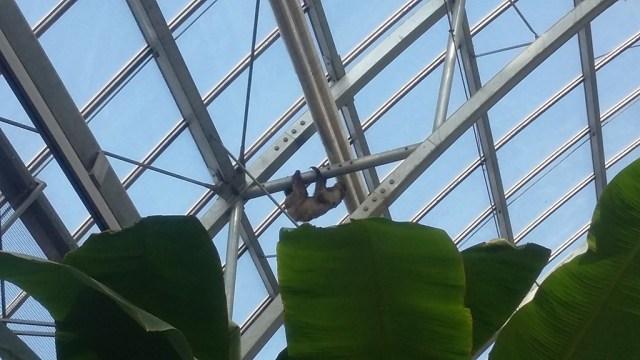 Evasion d'un singe sous la serre